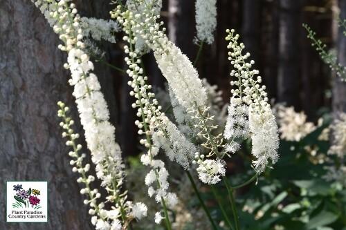 Actaea racemosa (snakeroot)