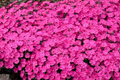 Dianthus 'Paint the Town Magenta' (Proven Winners)