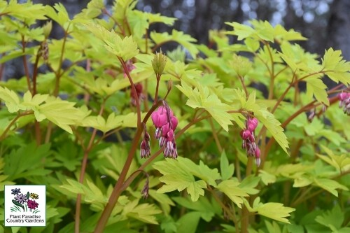 Dicentra 'Goldheart' (bleeding heart)