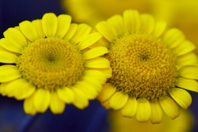 Anthemis tinctoria 'Kelwayi' (golden marguerite daisy)