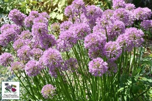Allium 'Millenium' (ornamental onion)