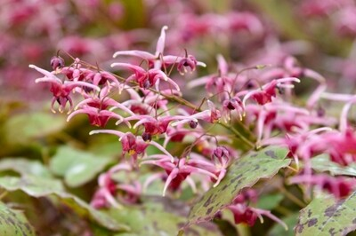 Epimedium 'Pink Champagne' (barrenwort)