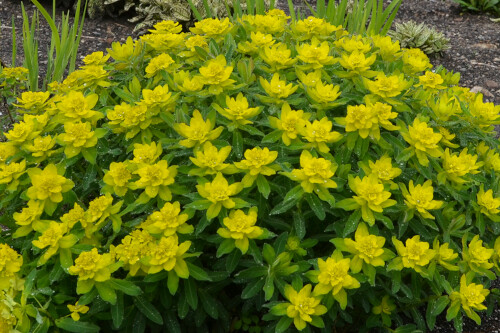 Euphorbia polychroma (cushion spurge)