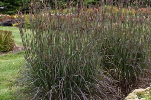 Grass - Andropogon gerardii 'Blackhawks' (Big Bluestem)