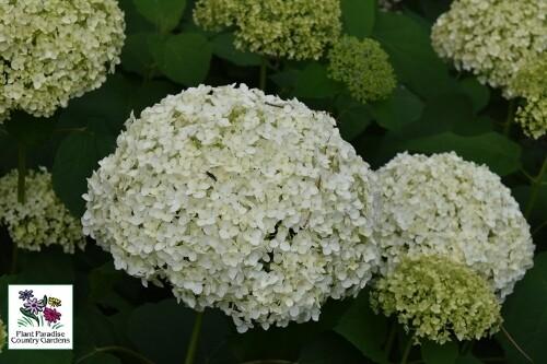 Hydrangea arborescens 'Incrediball' (Proven Winners)