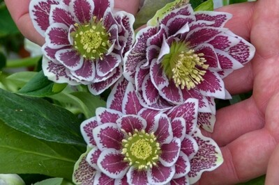 Helleborus 'Shotgun Wedding (lenten rose)