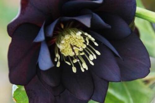 Helleborus WINTER THRILLERS 'Midnight Ruffles' (lenten rose)
