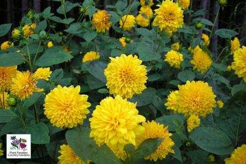 Helianthus x multiflorus 'Sunshine Daydream' (perennial sunflower)