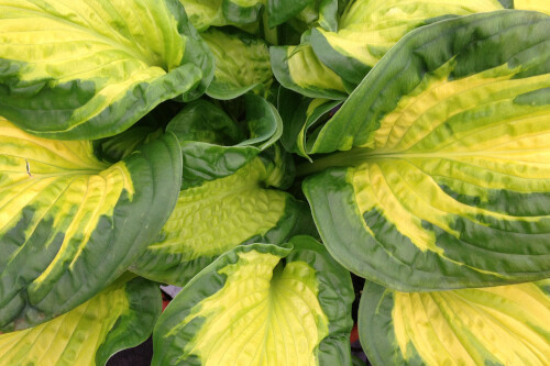 Hosta 'Etched Glass' (Proven Winners SHADOWLAND Collection)