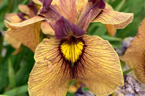 Iris pseudata 'Yarai' (Night Thunder)