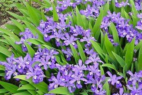 Iris cristata (dwarf crested iris)