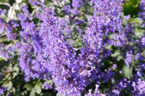 Nepeta grandiflora 'Summer Magic' (catmint)