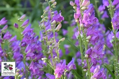 Penstemon strictus 'Rocky Mountain' (beardtongue)