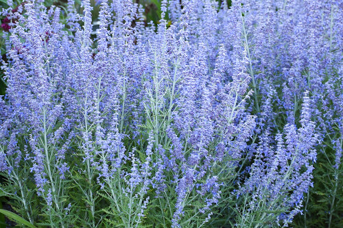 Perovskia a. 'Blue Jean Baby' (Russian Sage)