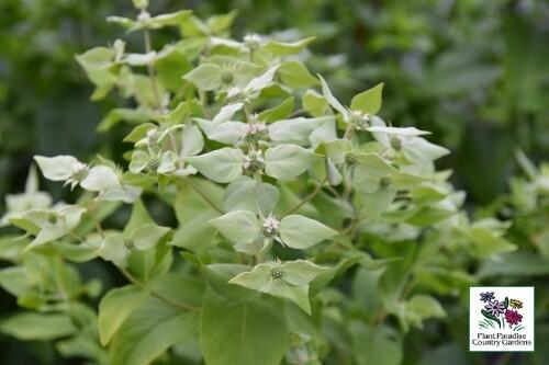 Pycnanthemum muticum (mountain mint)