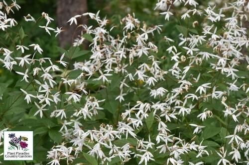 Porteranthus trifoliatus (bowman's root)