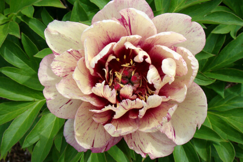 Paeonia 'All that Jazz' (Intersectional Peony)