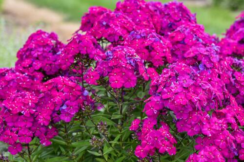 Phlox paniculata LUMINARY 'Ultraviolet' (Proven Winners)
