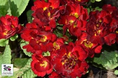 Primula vulgaris BELARINA 'Valentine' (primrose)