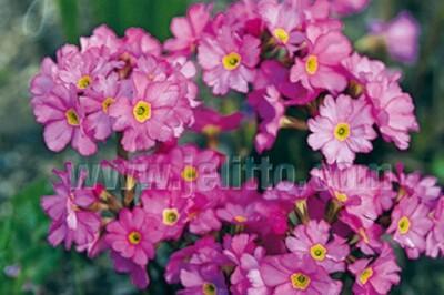 Primula rosea Gigas (primrose)