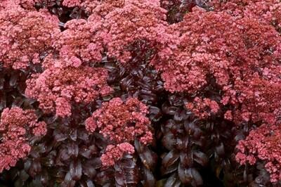 Sedum 'Dark Magic' (autumn stonecrop)