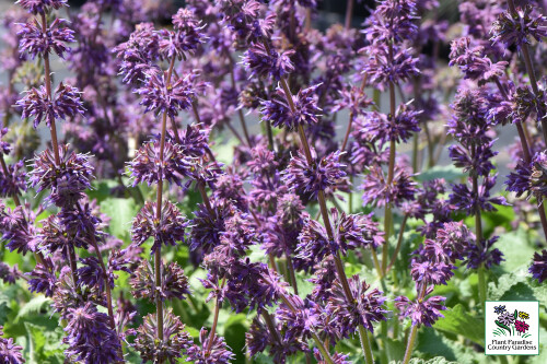 Salvia verticillata 'Purple Rain' (perennial salvia)