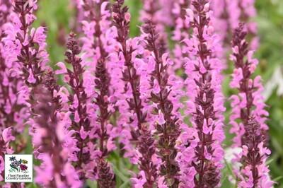 Salvia nemorosa 'Pink Profusion' (perennial salvia) (Proven Winners)