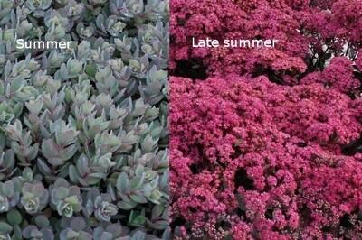 Sedum SUNSPARKLER 'Dazzleberry' (stonecrop)