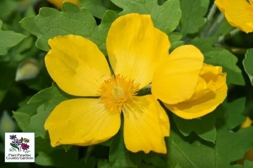 Stylophorum diphyllum (wood poppy)