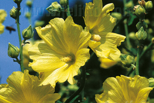 Alcea rugosa (Russian hollyhock) (perennial)