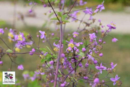 Thalictrum rochebrunianum (meadowrue)