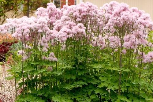 Thalictrum NIMBUS Pink (meadowrue)