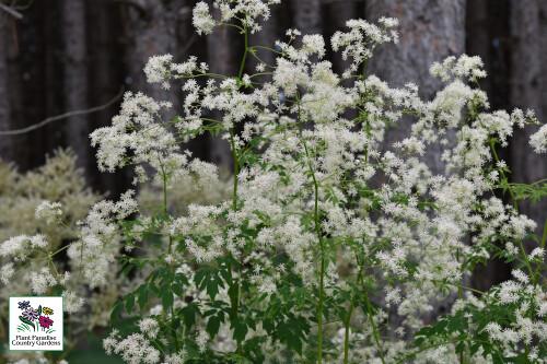 Thalictrum pubescens (tall meadowrue)