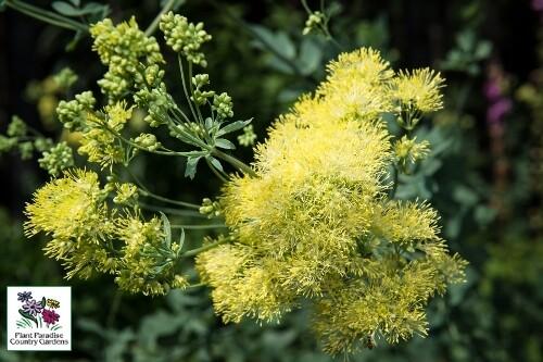 Thalictrum flavum ssp. glaucum (yellow meadowrue)