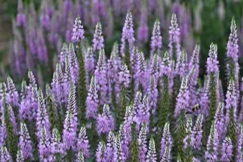 Veronica 'Lavender Lightsaber' (spike speedwell)