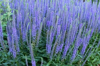 Veronica 'Blue Skywalker' (spike speedwell)