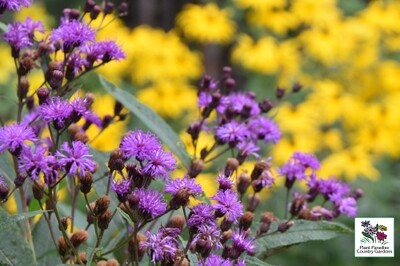 Vernonia noveboracensis (new york ironweed)