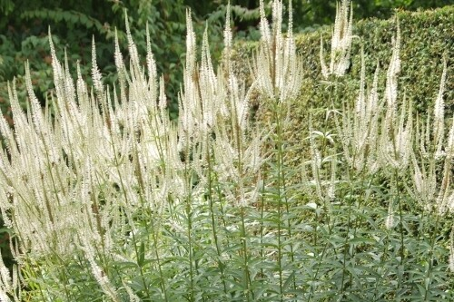 Veronicastrum virginicum (Culver's Root)