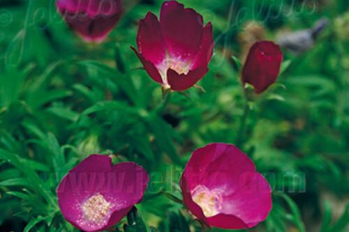 Callirhoe involucrata (Poppy Mallow, Wine Cups)