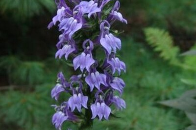 Lobelia siphilitica (Great Blue Lobelia)