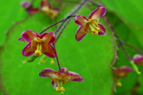 Epimedium rubrum (barrenwort)