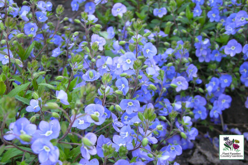 Veronica 'Waterberry Blue' (creeping speedwell)