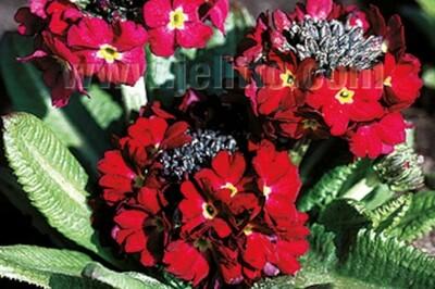Primula denticulata 'Rubin Selection' (drumstick primrose)