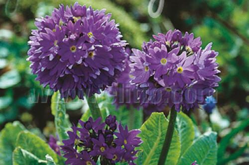 Primula denticulata 'Blue Selection' (drumstick primrose)