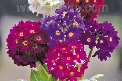 Primula denticulata Ronsdorf-Hybrids (Nepal Mix of drumstick primrose)