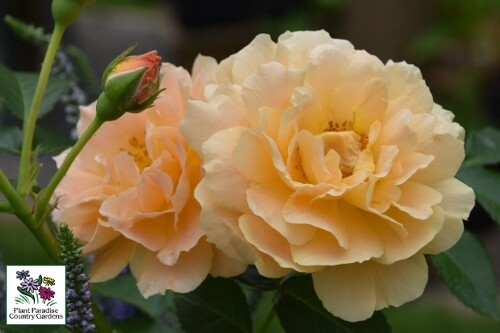 Rose 'At Last' (Proven Winners)