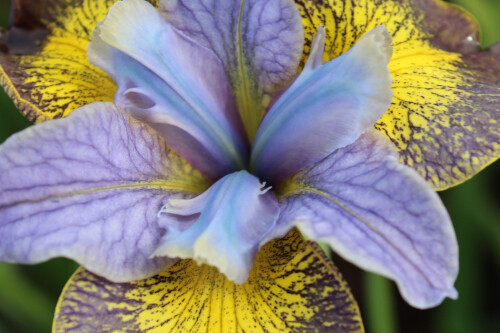 Iris sibirica Peacock Butterfly 'Uncorked'