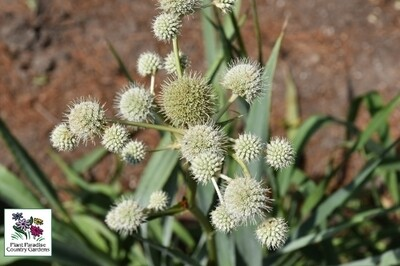 Eryngium yuccifolium (rattlesnake master)