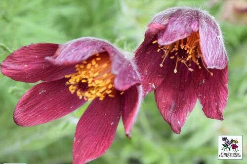 Pulsatilla vulgaris 'Rote Glocke' ('Red Bells' pasque flower)