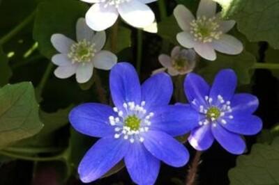 Hepatica americana (round-lobed liverwort)